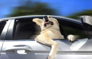 Como manter seu cão seguro no carro